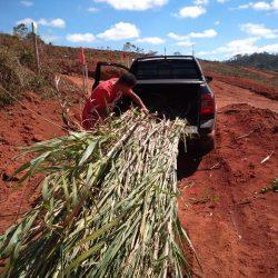 Parceria da Prefeitura com produtores rurais garante plantio de capim e cana mais nutritivo para o gado.